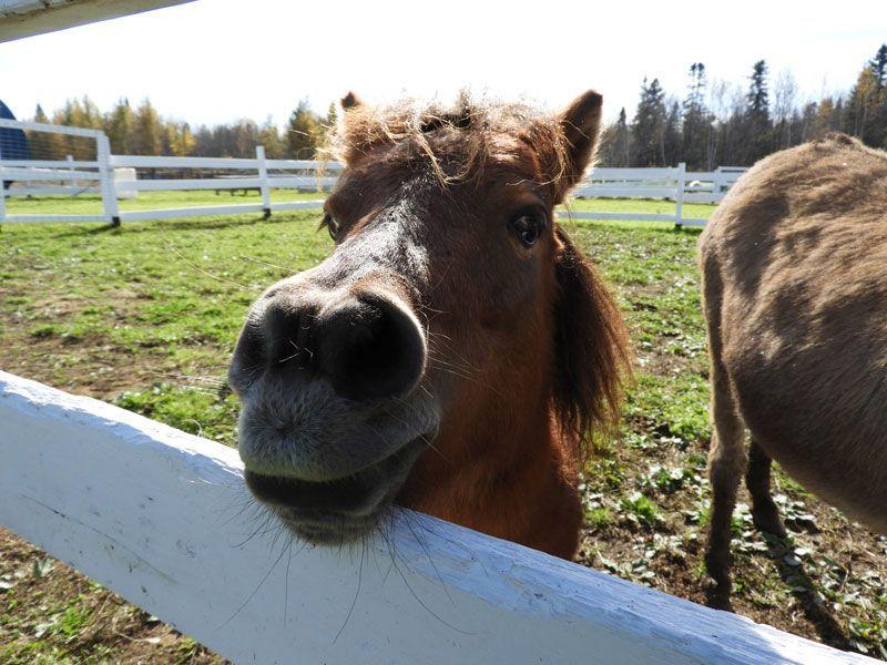 droppics-mini-poney